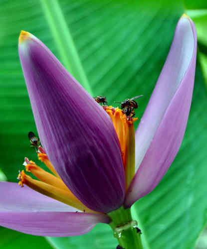 10 Samen Musa ornata (purple flower), Zierbanane